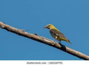 Golden Oriole bird