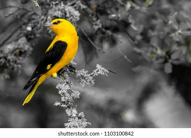 Golden Oriole (Oriolus oriolus) male. Summertime, Spain.