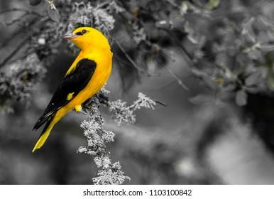 4.701 hình ảnh về Chim Vàng Anh cực đỉnh, loạt ảnh đẹp hót nhất hiện nay