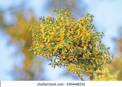 Golden Padauk flower are blossoming due to the first rain shower nationwide.