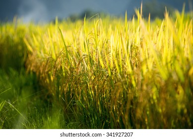 Golden paddy field of the Bacson Valley in Vietnam