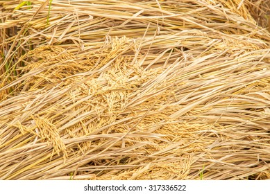 golden paddy rice seed and grains