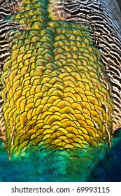 Golden patten of peacock feathers