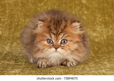 Golden Persian Chinchilla kitten on green background