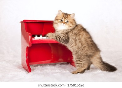 Golden Persian Chinchilla kitten standing up against red toy piano on white fake fur background