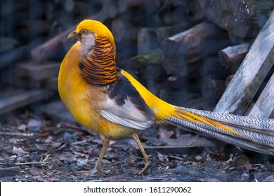 Golden Pheasant - yellow color (Chrysolophus pictus) walking near a stack of timber