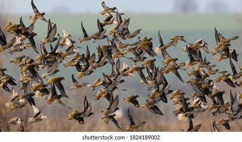 golden plover, bird while foraging, nature, wild, bird,