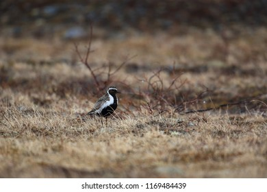 Golden plover at evening tundra
