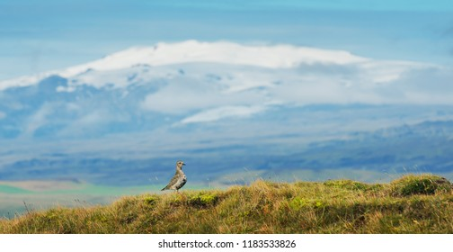 Golden plover on background of Eyjafjallajokull volcano, Iceland