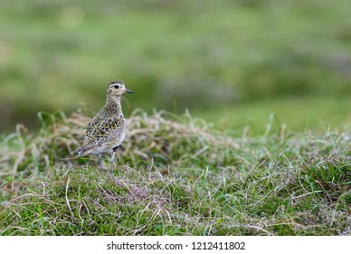 Golden Plover - Pluvialis apricaria, beautiful small wader from European water shores, Shetlands, Scotland, UK.