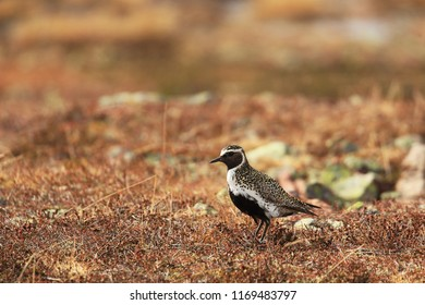 Golden plover in tundra