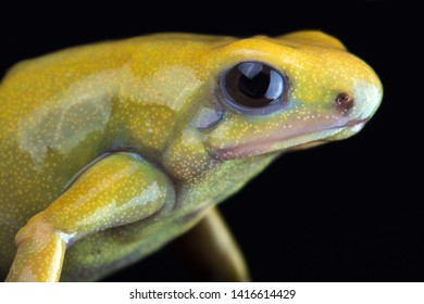 "Golden poison arrow frog (Dendrobates auratus) ""Golden"""