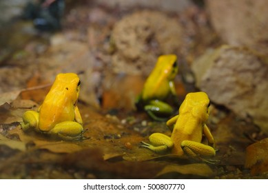 royalty free golden poison dart frog images stock photos vectors