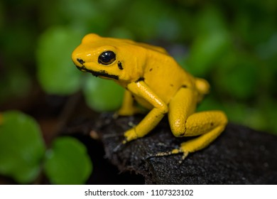 Golden Poison Frog sitting on a leaf on the ground in the jungle