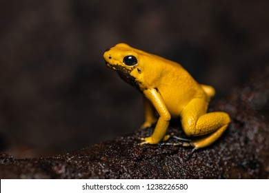 Golden poison frog sitting on a log in the jungle