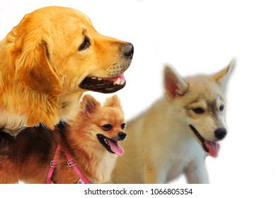 Pomeranian Husky Images, Stock Photos & Vectors | Shutterstock