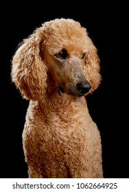 Golden poodle in studio with black background