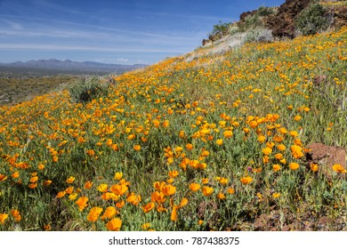 Golden Poppies blooming photographed at Peridot Mesa (on the San Carlos Indian Reservation) in Arizona USA.