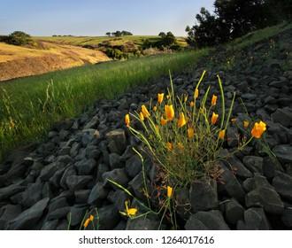 Golden Poppies in Dusk Sunlight on California Hillside