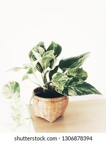 Golden pothos  in the basket ,Epipremnum aureum in pot isolated on white background  ,Drevi's ivy with copy space