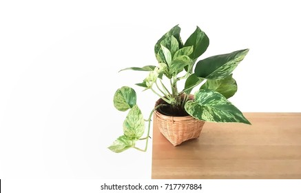 Golden pothos  in the basket on wood ,Epipremnum aureum in pot isolated on white background.devil's ivy with copy space.