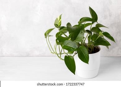 Golden pothos or devil's ivy in white modern flowerpot copy space