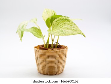 golden pothos  (Epipremnum aureum) or ceylon creeper in a wicker basket
