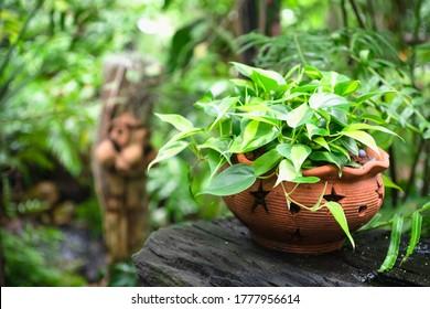 Golden pothos or Epipremnum aureum in flower pot in tropical green garden.