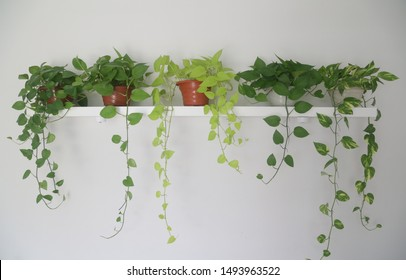 golden pothos or money plant on a shelf in a room