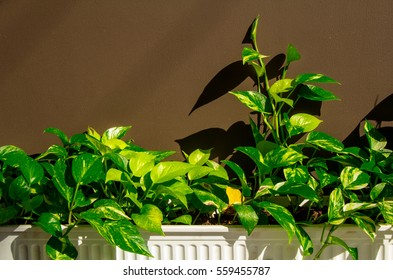 the golden pothos in the white plastic pot at home