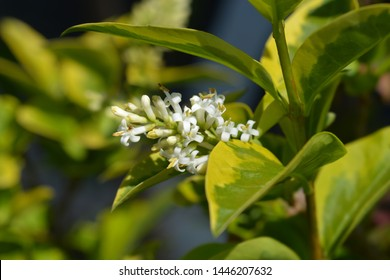 Golden privet white flowers - Latin name - Ligustrum ovalifolium Aureum