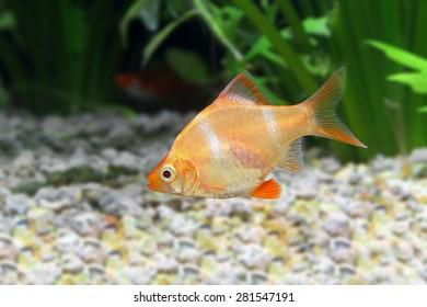 golden Puntius tetrazona