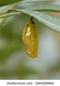 golden pupa in okinawa