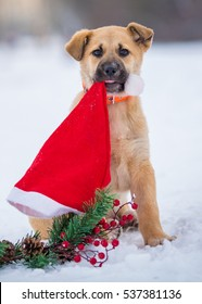 Golden puppy sitting in the snow with a Santa's hat in her mouth