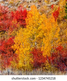 Golden Quaking Aspen trees and red mountain maples in the morning sun in Moose, Wyoming in early October.