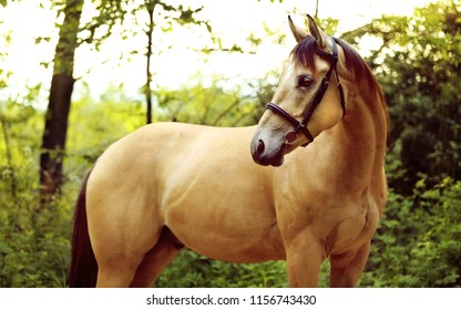 Golden quarter horse with bridle standing in forest and looking for something