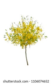 Golden Rain tree or Cassia fistula with yellow flower on white background