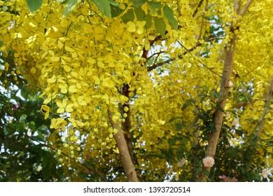 Golden rain tree or Cassia fistula, Elephants Trunk, Pea Flower, Amaltas