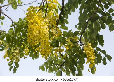 Golden Rain Tree. Found on the island of Barbados, the Golden Rain Tree (Koelreuteria paniculata) adds a bright yellow colour in the tropical sunshine.