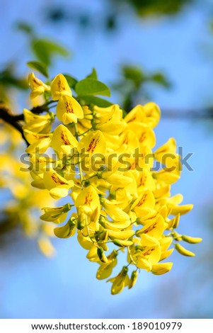 Golden rain tree Laburnum anagyroides detail in blue sky