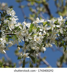 Golden Raindrops crabapple tree (Malus transitoria) exhibits an abundance of white blossoms on a sunny spring day in May 2020.