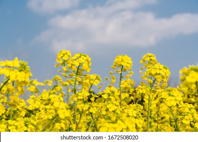 Golden rape flowers under blue sky and white clouds in spring