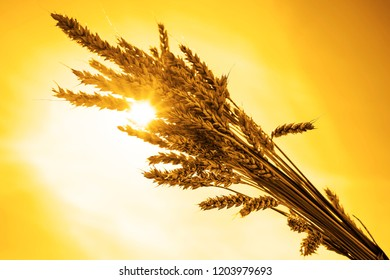 golden reap ears of wheat  on blue sky background. a bundle of wheat
