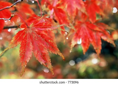 Golden red autumn leaves