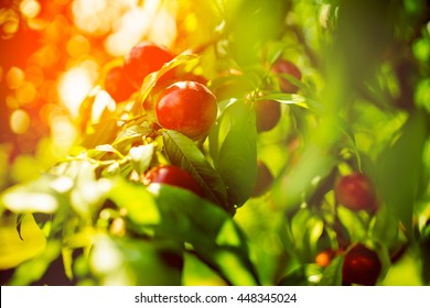 Golden red peach peaches hanging on the tree in the summer sun light