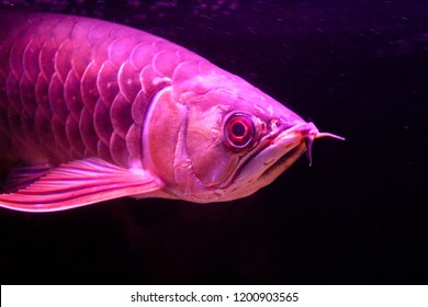 Golden red tail arowana fish isolated on black background.