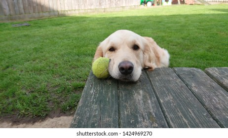 golden Retreiver playing with tennis ball