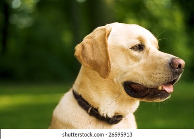 Golden Retreiver Portrait in the nature with green nature.