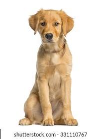 Golden Retreiver puppy sitting in front of a white background