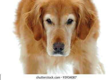 Golden Retriever With an Alert Expression